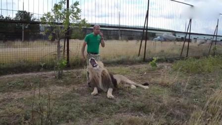 牛人饲养的大狮子, 近距离看下长多彪悍