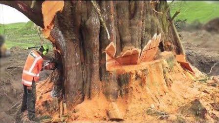 砍大树也是门技术活, 看看国外伐木工砍倒大树全过程