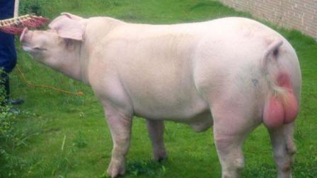 心疼! 一头种猪需要配上百头母猪, 然而一辈子都碰不到母猪