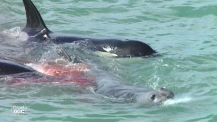 虎鲸一口咬住海狮, 剩下的海狮只能奋力跑, 网友