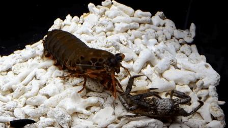 这种皮皮虾一拳把螃蟹爪子打掉, 网友: 我们吃的