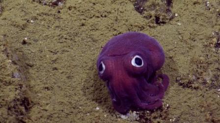 这种章鱼比大熊猫还稀有! 用耳朵游泳, 网友: 让