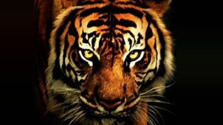 十只藏獒能否打赢一只东北虎? 详细数据分析, 成功只存在于传说