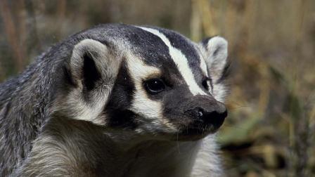 逃跑专家草原土拨鼠, 狡兔三窟, 轻松戏耍美洲獾