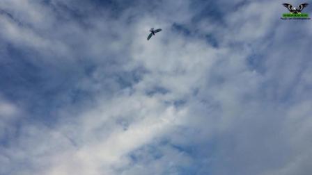 鹦鹉扑翼机飞行视频