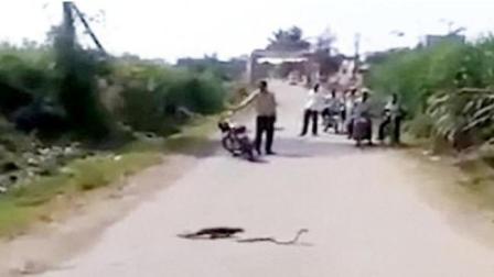 印度马路猫鼬与眼镜蛇厮杀 路人驻足观战