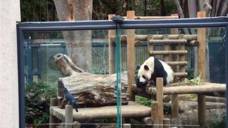 乌鸦偷毛不成, 险些被大熊猫一掌拍下, 镜头拍下
