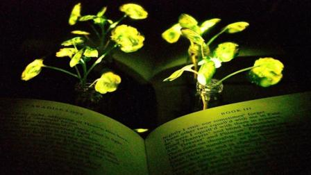 科学家培育出发光植物, 不需要充电, 以后还能当路灯?
