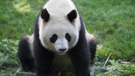 """熊猫正在吃饭, 结果""""兄弟们, 有情况, 上树""""这"""