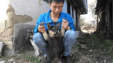 华农兄弟: 狗狗成长记, 小时候肥嘟嘟的, 捏起来软绵绵的