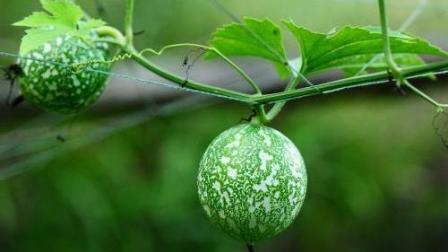 女性吃吊瓜子好处多, 消皱养肤抗衰老, 防癌抗癌功效多
