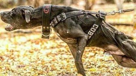 这狗一旦咬住绝不松口只能击毙, 藏獒都不是他的对手, 多个国家禁养