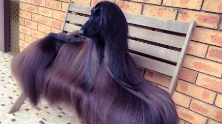 """世界上最美的一只狗, 长相酷似""""夜华"""", 配一次种要10万!"""