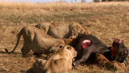 他是一位能征服狮子的牛人, 人与自然一切太美妙