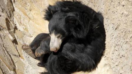 失去母亲的幼熊, 没人教它找食物, 全靠自己本能