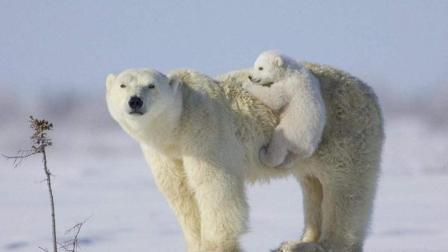 北极熊在晚霞下打盹, 好像在怀念, 小时候在妈妈