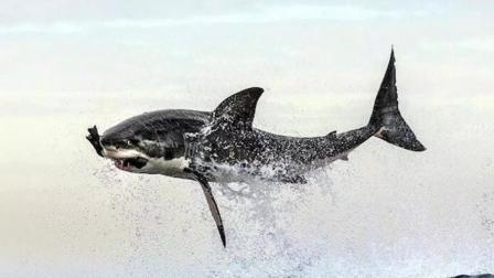 """""""飞""""起来捕食的大白鲨 海豹真的插翅难逃!"""