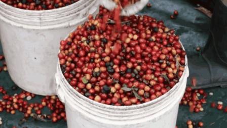 90秒带你走进咖啡农场, 了解咖啡豆的水洗处理方式, 咖啡来之不易