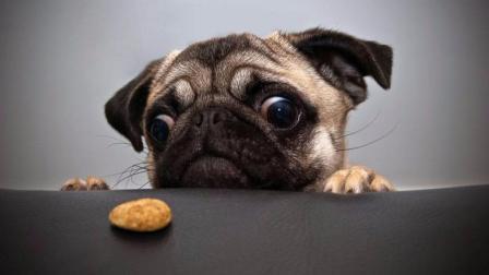 """小姐姐买""""沙皮狗蛋糕"""",在自家沙皮狗面前吃,狗狗也是吓坏了!"""