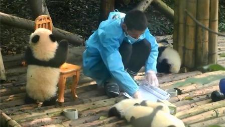 熊猫宝宝攀爬凳子, 不小心翻倒在地, 奶爸的举动