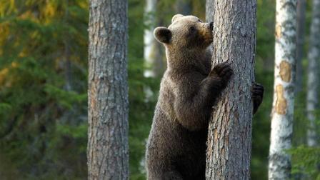 小棕熊爬树偷农民挂起的蜂蜜, 这骚包爬树的姿势