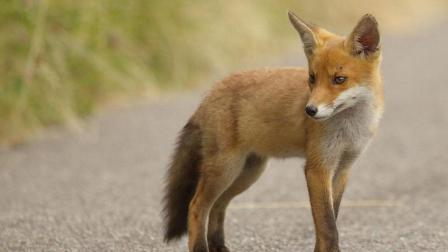 找不到妈妈的小狐狸, 刚躲避狗的追击, 就迎来凶