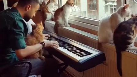 铲屎官弹钢琴, 8只猫安静的听着! 这就是所谓的岁月静好吧!