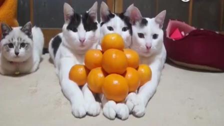 """猫咪: """"铲屎官你是傻了吗? 为什么非要放橘子呢? """""""