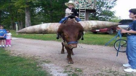 世界上最大的牛角, 有人出价130万购买, 主人都不卖!