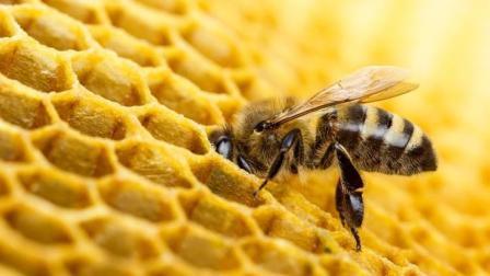 蜂蜜是蜜蜂吐出来的吗