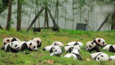 这只豆丁大的大熊猫宝宝也许是唯一进过夜场的, 音乐响起, 就它摇摆的最嗨