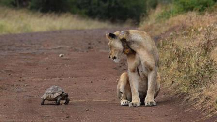动物专家拯救了被遗弃的狮子希尔加, 养大后, 希