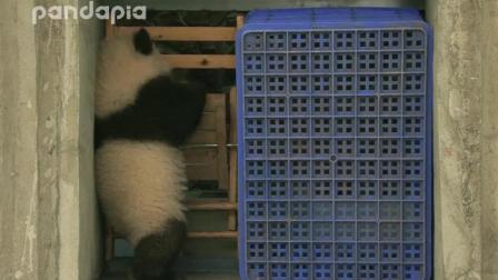 大熊猫宝宝锲而不舍, 最终钻过过巴掌宽的缝隙越狱成功