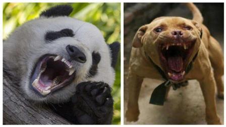 如果比特犬和野生大熊猫搏杀, 比特犬可以坚持多久? 今天长见识了