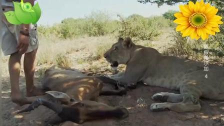 被养大的雌狮能够独立捕捉一头狷羚, 让人失望的
