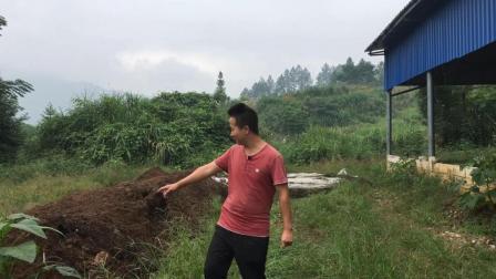 农村牛人回收了30吨牛粪, 用它来喂这种动物, 一