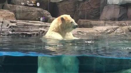 歌声很销魂, 北极熊的舞姿更销魂, 牛人无处不在