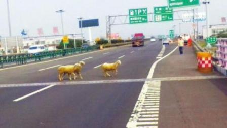 """高速惊现离奇事故, 3只小羊""""夺走""""4条人命! 监"""