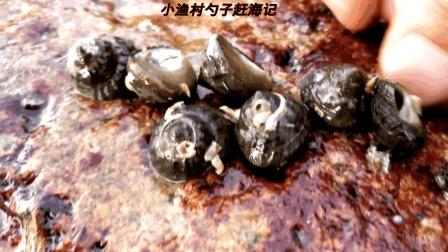 赶海发现新地方, 翻开小石头都是马蹄螺, 30分钟就收获1桶海螺