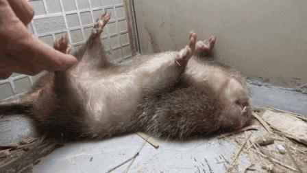 华农兄弟: 小伙外出一趟回来, 竹鼠不仅长肥了, 也更喜欢吃竹子了
