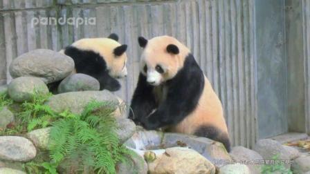 《萌熊神猫传》第8集: 论熊孩子的一百种作死方法