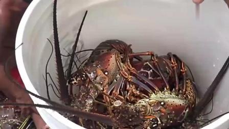 这个岛穷得只剩下龙虾, 野生大龙虾只是家常便饭, 羡慕!