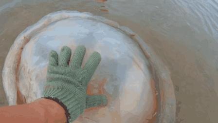 渔村小马: 这么大的海蜇还是第一次见, 小伙赶海遇到它高兴坏了