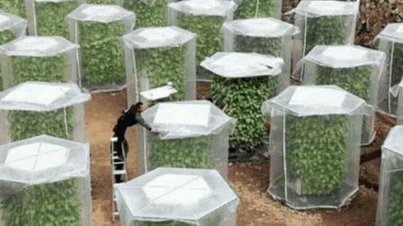 """涨知识! 中国农民发明""""空气""""种菜法, 绿色无虫害, 收成是以往的6倍"""