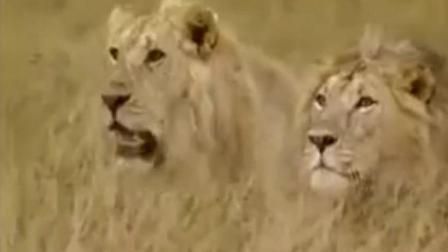 雄狮与雌狮生了一窝小狮子, 族群的成长今后要看