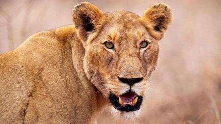 兽医给狮子希尔加打针打偏了, 希尔加恼羞成怒反