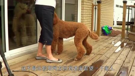 外出游玩时狗狗不愿走路, 老爸全程背着巨贵犬, 画面温馨!