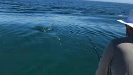 美国东海岸大白鲨抢钓鱼者猎物条纹鲈鱼