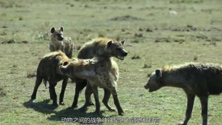被600公斤的斑马踢一脚, 狮子的脸都扁了野猪更惨