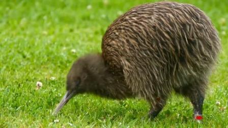 无翼鸟, 新西兰的国宝